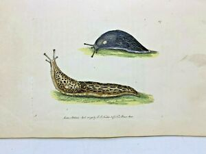 Black & Spotted Slugs - 1783 RARE SHAW & NODDER Hand Colored Copper Engraving