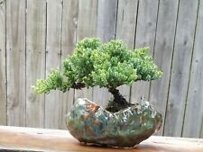 Juniper Procumbens Nana in handmade green glazed ceramic pot.