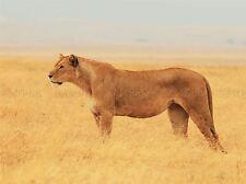 Le scoutisme Lionne Lion Chat Savannah Golden photo Art Imprimé Poster bmp1251a