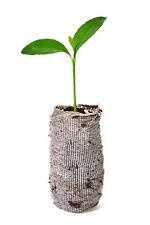 Calamondin × Citrofortunella Microcarpa Tree Live Small Plant Starter Plug