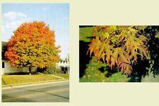 New listing Sugar Maple. 100 seeds. trees, seeds