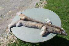 Lynx Alaska pelt fur tanned hide alaskan yukon wild skin w/ cites registration.