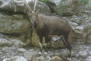 Ibex Taxidermy Reference Photo Cd