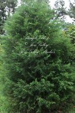Cupressus lusitanica 10 Seeds White Cedar Tree Small Evergreen Conifer
