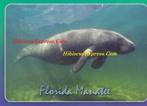 4Y50 FLORIDA MANATEE [ONE 1 CARD] Florida's gentle giant  from HibiscusExpress .