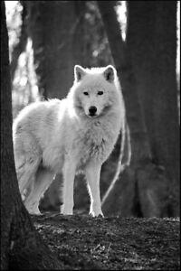 Wolf - Black/White - A3/A4 Picture - Glossy/Matte - Wall Art Decor