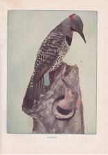 "1904 Antique Print ""Flicker"" 1900-1949 Birds Vintage Neltje Banchan"