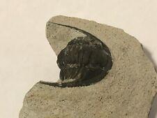 Trilobite (Hollardops), Devonian, Morocco, fossil, arthropod, length 33 mm