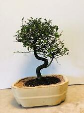 Imported Chinese Elm 15yr old Tons of Branching 12inch pot