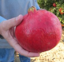 Giant Pomegranate 10 seeds *Non-GMO * Heirloom* Rare* CombSH A26