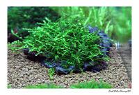 Kriechend Moos Auf Draht Masche / Live Aquariumpflanze / Uk Verkäufer