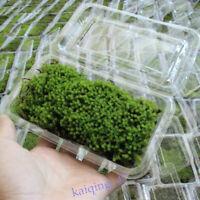 Micro Moss - Live Aquatic Green Plants Carpet Aquarium Garden Landscape Decor