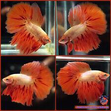 Live Betta Fish Male Orange Armageddon Halfmoon #1153