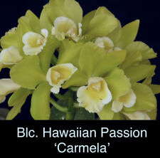 Blc. Hawaiian Passion 'Carmela' Young Plant Fragrant!