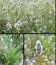 400 Semi Plantago Lagopus Piantaggine Piede di Lepre Round-Headed Plantain seeds