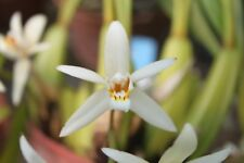 Orchid Plant - Coelogyne Coel. flaccida - species - discovered in 1828