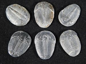A Big Lot of SIX! 100% Natural Elrathia Trilobite Fossils! Utah 1.37