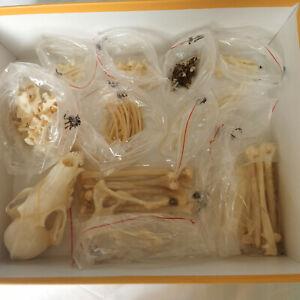 1 Pcs Real Complete Fox skeleton specimen/ Real animal bone/ Not Installed
