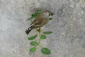 Stuffed Domestic Finch New Premium Taxidermy Bird