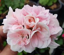 Sabel Sylvia Zonal Pelargonium x 1 Plant ---------------- Geranium