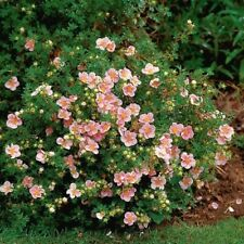 "Potentilla ""Pink Beauty"" 20 Hardy Flowering Shrubs Live Plants!Free Shipping!"