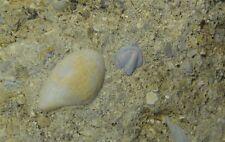 Arthropod - Mississippian Period - Trilobite Tail with Phestia wortheni - Tt3