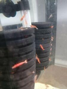 10 x Beautiful Red Cherry Freshwater Easy Tropical Aquarium Cleaner Shrimp Algae