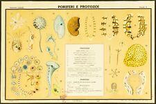 PORIFERI E PROTOZOI poster manifesto affiche Forms Life Eukaryotes Protozoa A6