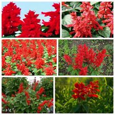 100 Red Sage Flowers Seeds Salvia Annual Ornamental Plant Terrace Garden Design