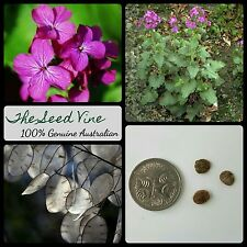 10+ HONESTY PLANT SEEDS (Lunaria annua) Silver Dollar Money Purple Flower