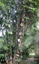 Java Black Bamboo 80 seeds  Gigantochloa atroviolacea. From Australia.