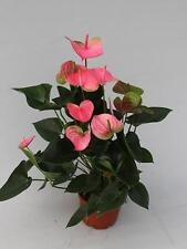 Anthurium Pandola PINK 17CM POT 60-65cm tall HOUSE PLANT