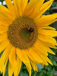 Sunflower  2 - 4 m - 60 Seeds GIANT Titan SEEDS HELIANTHUS ANNUUS Real Picture