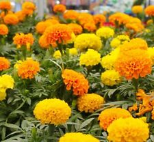 200+ Marigold, African  Seeds  24-30 Inches US SELLER NON-GMO