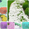 Creeping Thyme Seeds Rock Cress Seeds Rare Ground Cover Flower Climbing Plant