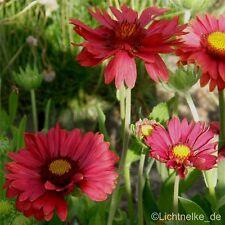 Rote Kokardenblume ( Gaillardia aristata 'Burgunder' ) Tb9