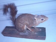 Rare Taxidermy Squirrel,Mounted Squirrel