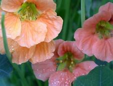 Nasturtium seeds Terry Bittock Flower Seeds from Ukraine