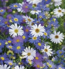 Swan River Daisy Mixed 20+ Seeds Blue Flower Easy Grow Kids Perennial Rockery UK