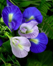 Blue Butterfly Pea (Clitoria ternatea) 25 2018 Seeds
