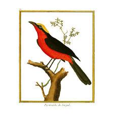 Bird Pie Grieche Du Senegal Shrike Art Print Poster Wall Decor