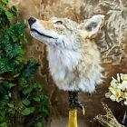 br30 Taxidermy Oddities Curiosities Prairie Wolf coyote Head mount Display deco