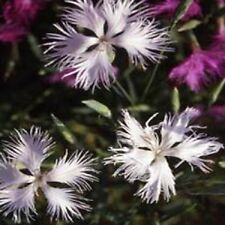 30+  DIANTHUS SUPERBUS WHITE CARNATION FLOWER SEEDS / PERENNIAL / GREAT GIFT