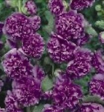 30+ Violet Danish Double Hollyhock Flower Seeds / Alcea / Perennial