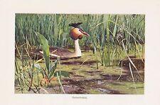Haubentaucher (Podiceps cristatus) Wasservogel Farbdruck 1911