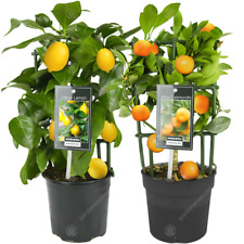 Lemon & Orange Tree Combo Fresh Live Indoor Citrus House Plants in 12 cm Pots