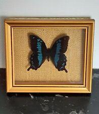 Véritable Papillon Bleu Papilio Blumei encadré sous verre J. Walter taxidermie
