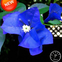 100 PCS Seeds Plants Blue Bougainvillea Spectabilis Perennial Bonsai Flowers New