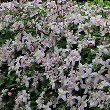 Clematis Montana Perfumed Mixed - 20 Seeds - Hardy Climber