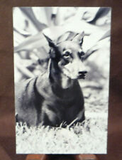Rppc Beautiful Puppy Dog - Doberman Pinscher - Real Photo